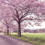 Tag 71 - Cherryblossom-Allee