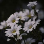 Tag 102 - weiße Blüten