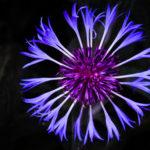 Tag 110 - Berg Flockenblume